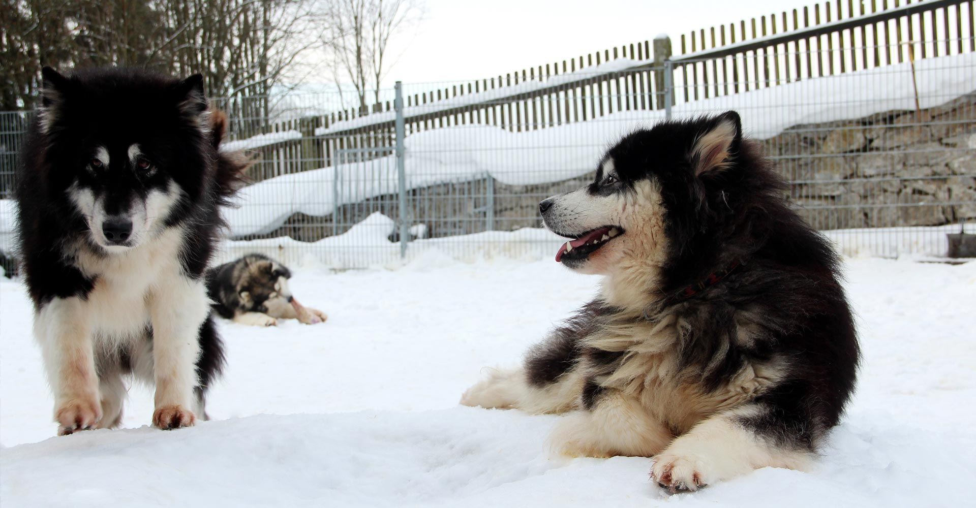 Huskys liegen im Schnee